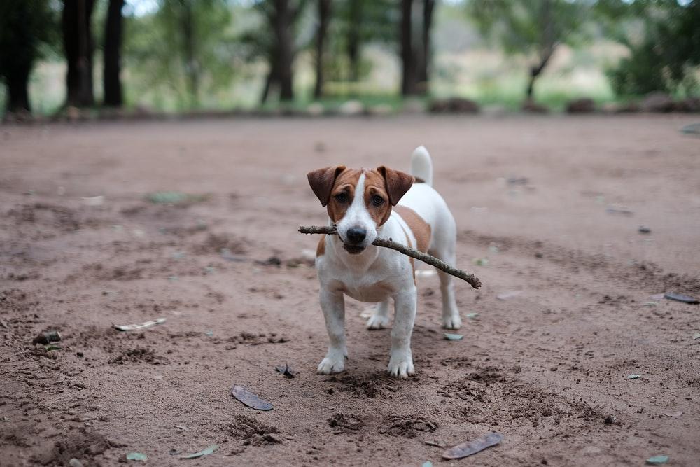jack-russel-terrier-pic1
