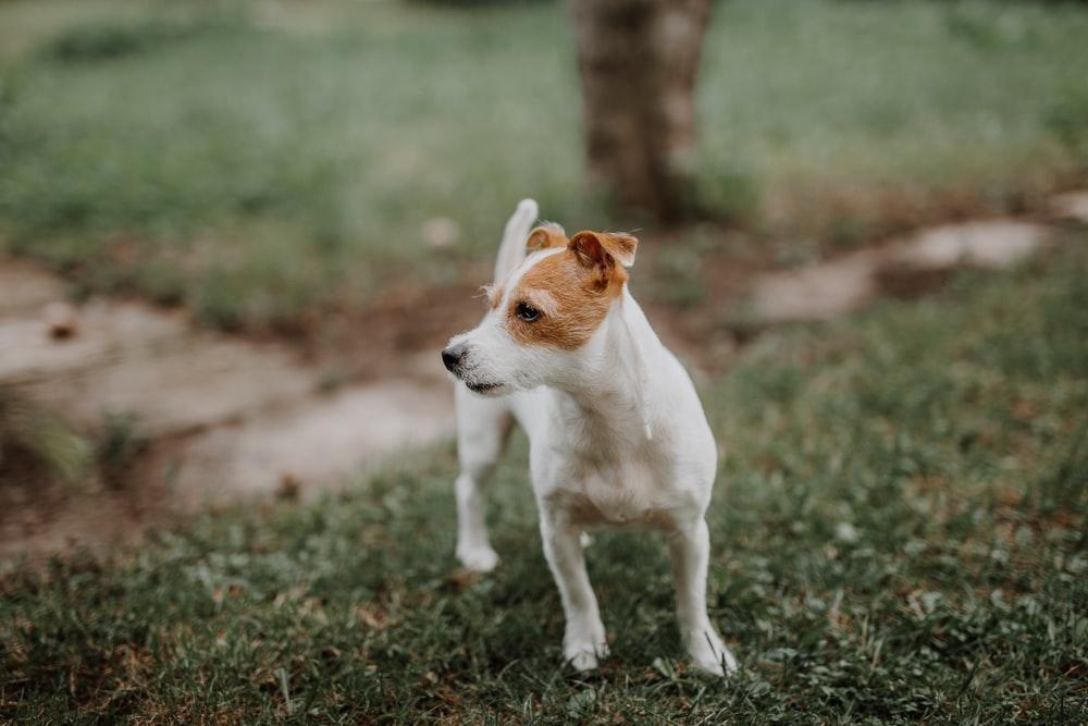jack-russel-terrier-pic3
